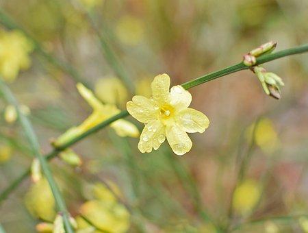 Rain-wet Winter Jasmine, Rain-wet, Flower, Ornamental