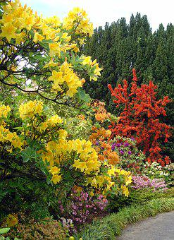 Bodnant, Gardens, Wales, Rhododendron, Blossom, Yellow