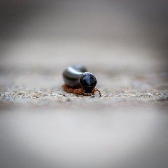 Millipede, Small, Rains, Macro, Animal, Zimbabwe
