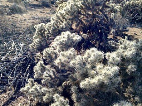 Cholla, Joshua Tree, Desert, Plant, Southwest