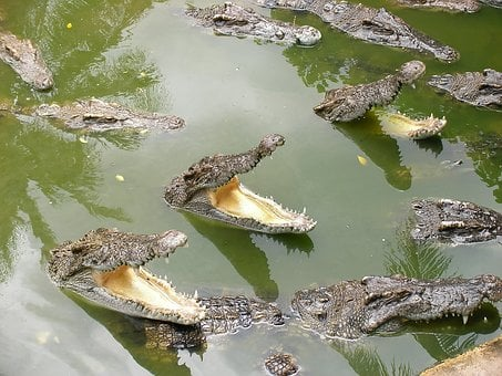 Crocodile, Mouth, Lunch, Thailand, Readiness, Swamp