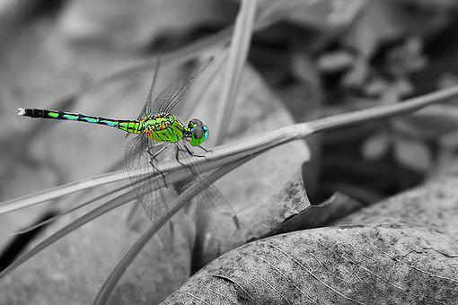 Dragonflies, Natural, Insects, Vietnam, Close-up, Green