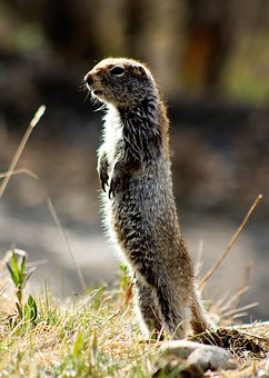 Arctic Ground Squirrel, Alaska, Wildlife, Animal