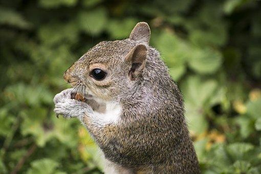 Squirrel, Rodent, Animal, Nature, Wildlife, Mammal