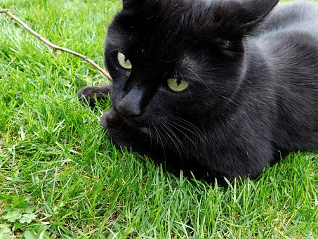 Cat, Black Cat, Mieze, Black, Pet, Animal, Garden