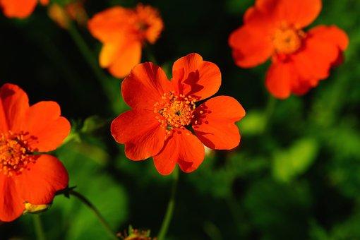 Flower, Blossom, Bloom, Wild Strawberries, Close, Red