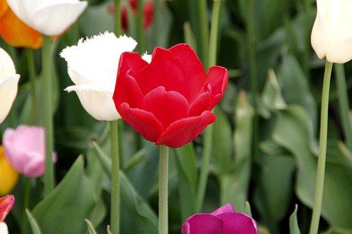 Tulip, Field Of Flowers, Blossom, Bloom, Plant