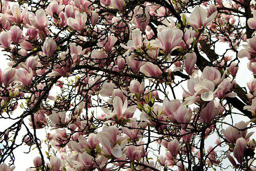 Magnolia, Flowers, Blossom, Bloom, Spring, Pink, White