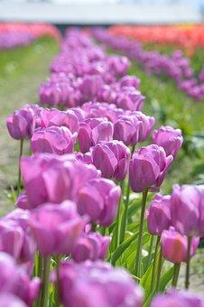 Purple, Red, Tulips, Northwest, Washington, Flower