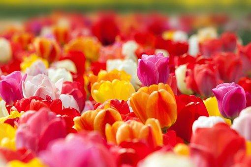 Tulip, Spring Flower, Flower, Blossom, Bloom, Yellow