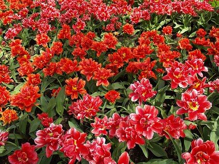 Tulips, Red, Flower, Spring, Flowers, Tulip Fields