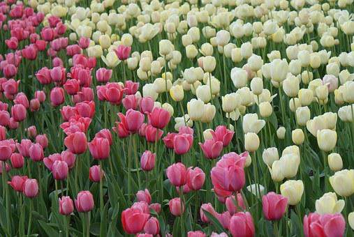 Tulips, Flowers, Spring, Field, Pink And White, Flora