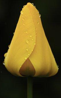 Yellow, Tulip, Drop Of Water, Spring, Flowers