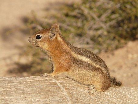 Golden Mantled Ground Squirrel, Chipmunk