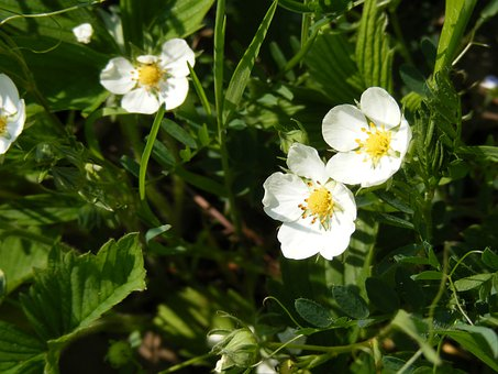 Flowers, Forest, Green, Strawberries, White, Wild