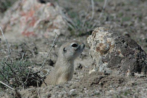 Ground Squirrel, Harmful, Rodent