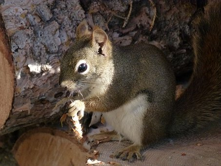 Squirrel, Sciuridaeanimal, Ground Squirrel, Nature