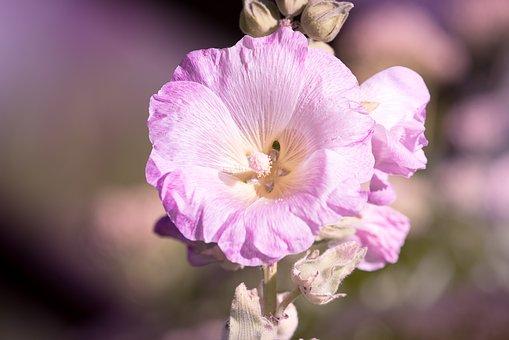 Stock Rose, Pink, Pink Hollyhock, Garden, In The Garden