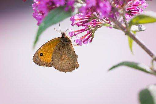 Butterfly, Meadow Brown, Edelfalter, Insect, Nature