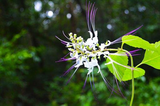 Khmer, Cambodia, Lonely Flower, Kingdom Of Wonder