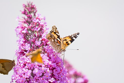Butterfly, Lilac, Summer Lilac, Pink, Pink Flower