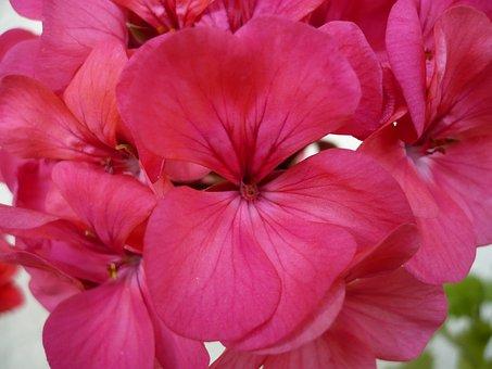 Geranium, Flower, Pink, Beautiful, Macro, Close, Nature