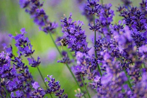 Lavender, Nature, Plant, Purple Flower, Meadow, Plants