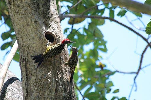 Woodpeckers, Birds, Fauna, Nature, Tree, Animal, Hollow