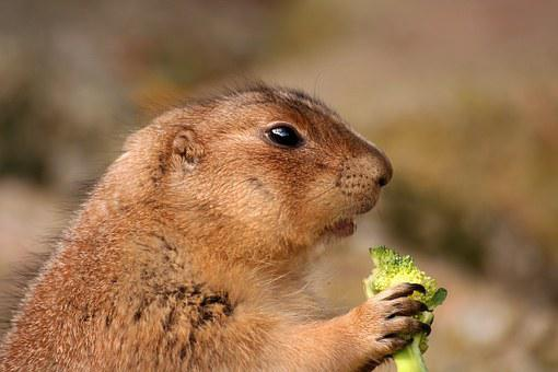 Prairie Dog, Rodent, Animal, Cute, Brown, Nature, Wild