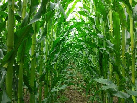 Corn, Passage, Field, Dahl