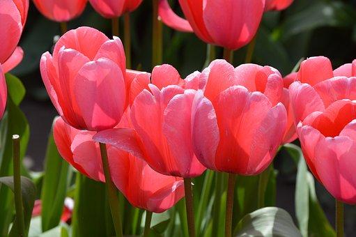 Pink, Red, Tulips, Northwest, Washington, Flower