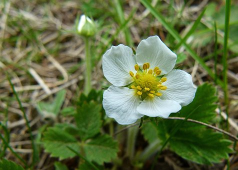 Blooming, Flower, Wild Strawberry, Plant, Macro, Nature