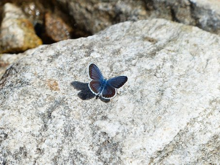 Butterfly, Restharrow's Blue, Polyommatus Icarus
