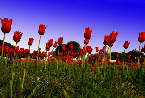 Red Tulip, Field, Green, Flower, England, Colour, Power