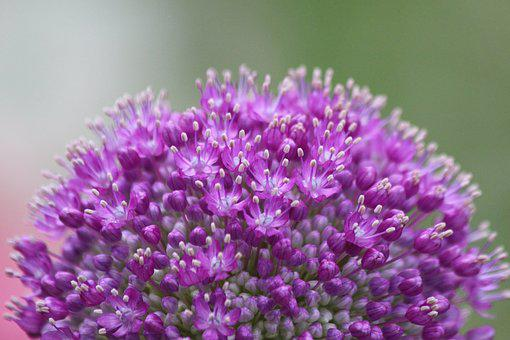 Purple, Onion, Plant, Inflorescence, Closeup, Bloom