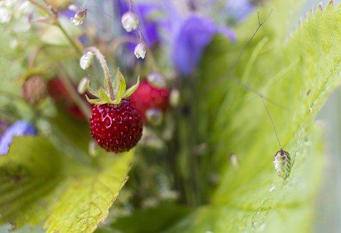 Wild Strawberry, Strawberry, Wild, Red, Fruit, Berry