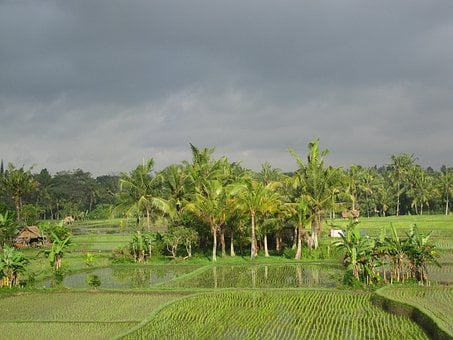 Rice Field, Paddy, Field, Agriculture, Rice, Crop