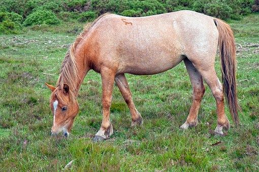 Horse, Pony, Strawberry Roan, Roan, New Forest Pony