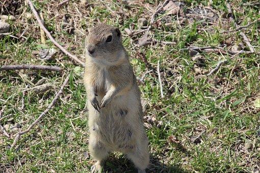 Gopher, Richardson Ground Squirrel, Animal, Rodent
