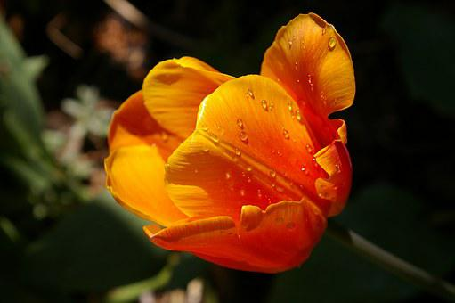 Yellow Tumor, Orange Tulip, Close, Spring, Flowers