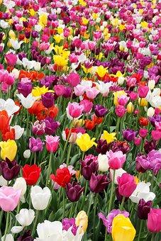Tulips, Tulip Field, Tulpenbluete, Spring, Tulip Fields