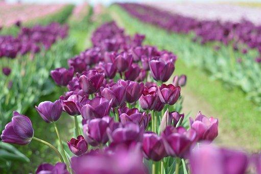 Tulips, Northwest, Washington, Flower, Purple, Squat