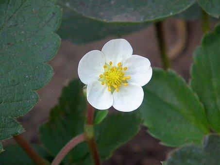 Flower, Leaves, Strawberry, Bud, White
