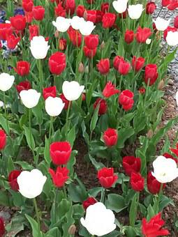 Tulips, Nature, Tulip Field, Red, White, Flowers