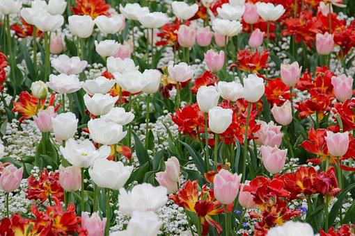 Tulip Landscape, Tulips, Holland, State Garden Show