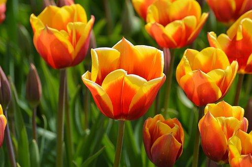 Yellow, Red, Tulips, Northwest, Washington, Flower