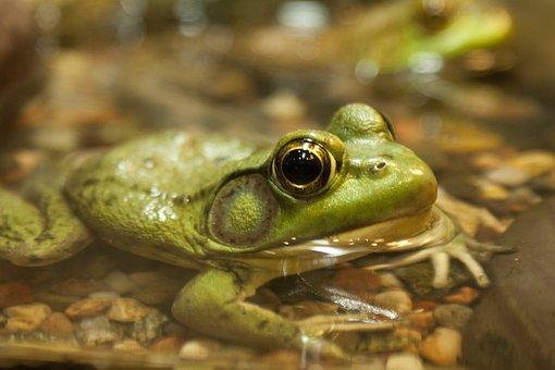 Frog, Green, Nature, Animal, Amphibian, Wildlife