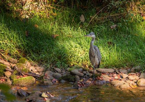 Bird, Heron, Nature, Animals, River, Plumage
