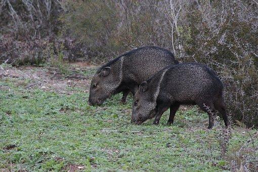 Wild Boars, Texas, Black