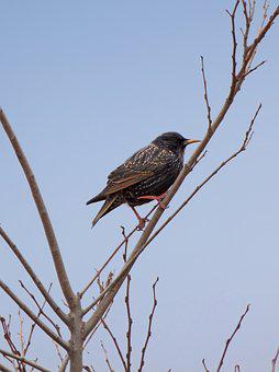 Bird, Starling, Branch, Winter, Lookout